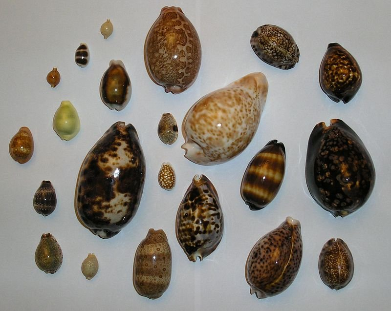 800px-Different_cowries.jpg