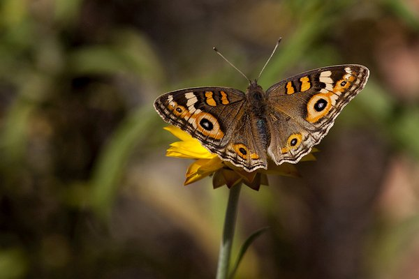 Butterfly on daisy 600x400.jpg