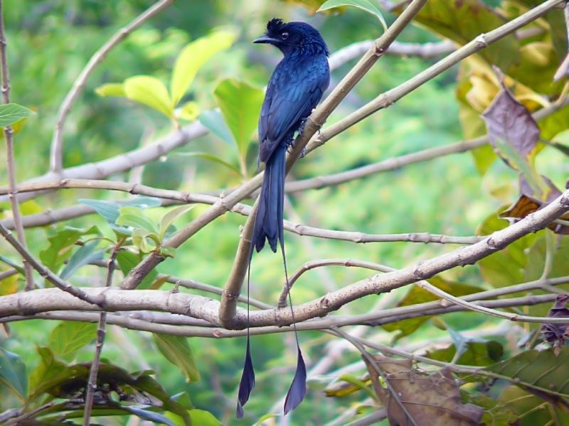 greater-racket-tailed-drongo-800x600.jpg