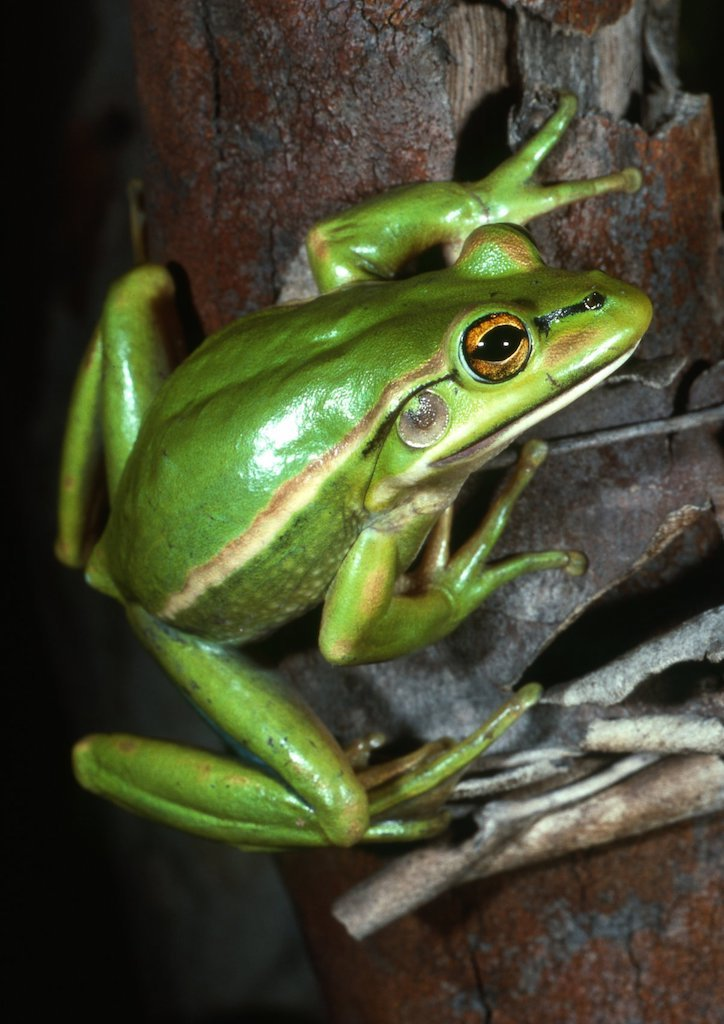 Litoria aurea, Green and golden bell frog